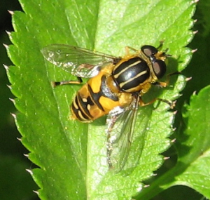 hover fly Heliophilus sp.