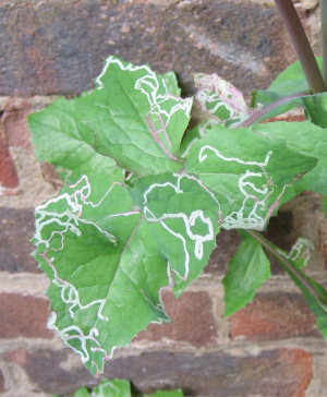 Leaf mine in leaves of sowthistle