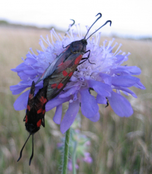5-spot burnets mating on field scabious