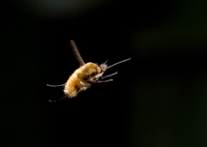 Hovering insect