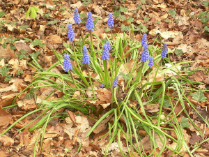 Small Grape Hyacinth