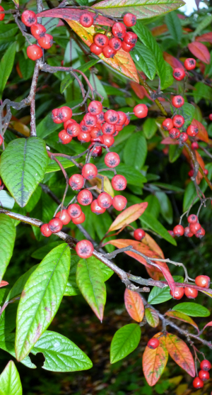 Cotoneaster spp.