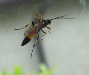 Ichneumon on Raasay