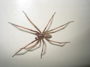 large hairy house spider