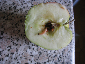 maggot in brambly apple
