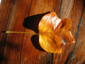 Tulip Tree autumn leaf