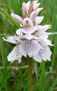heath spotted-orchid