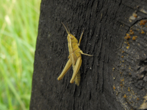 Wicken Fen Grasshoppers - Nymphs?