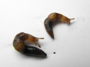 Unidentified Slugs