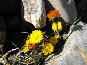 Coltsfoot?