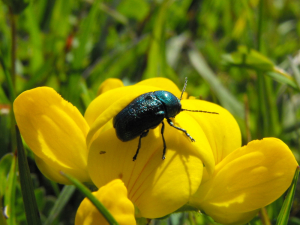 Unidentified Green Beetle