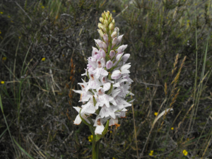 Possible Heath Spotted Orchid