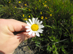 Some sort of Mayweed?