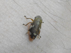 Unidentified Hopper