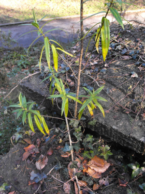 Unidentified plant (growing out of wall)