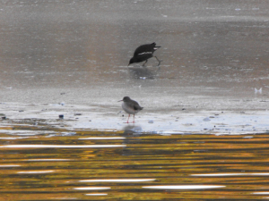 Possible Redshank?