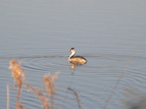 Great Crested Grebe?