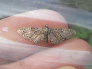 Pug sp. 6th May