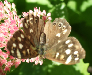 Butterfly, Grayling?
