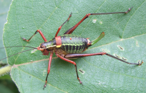 BushCricket_Italy_09Jun12