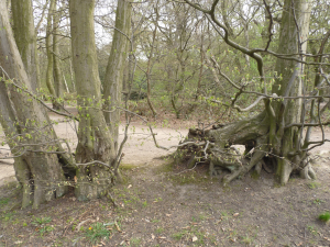 Remains of ancient layered hornbeam hedge
