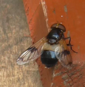 Big Fly Trying To Get Into Beehive