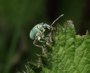 IMGP4627-Pa1 Weevil blue on nettle Ufton Fields Res Warwks stereo pr LH orig