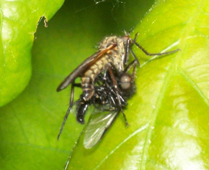 101_4338-Ka0 Unknown fly & prey?