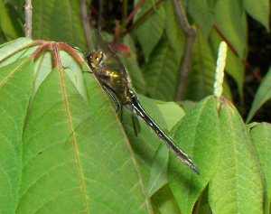 101_4478-Ka0 unknown dragonfly