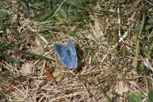 Is this a Chalk Hill Blue?