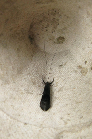 Unknown Caddis fly(?)