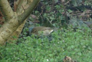 Two warblers in garden