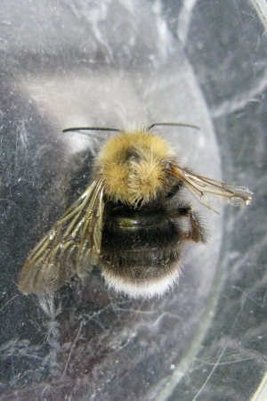 Unknown Bee species