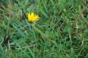 Dandelion November 15th