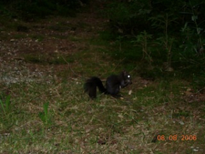 Hinterzarten Germany  black squirrel