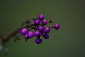 Unknownpurple berry