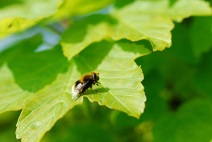 Hoverfly on sycamore