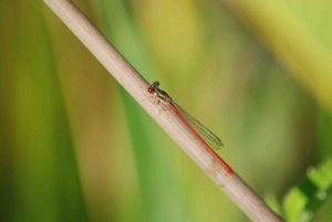 Lenvos Damselfly2 (red)