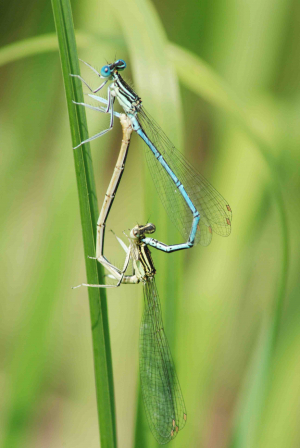 Lenvos damselfly 14 paired
