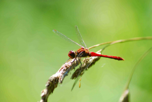 Lenvos dragonfly 2 red