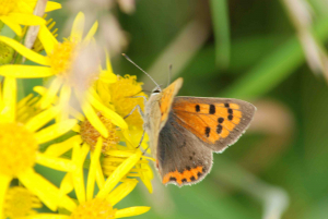 Small Copper English - usual colours!