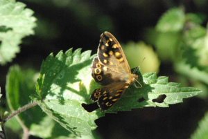 Speckled Wood France