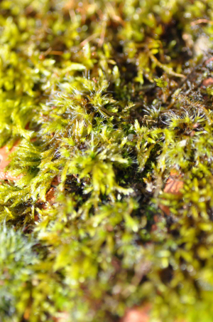 Unknown sphagnum-like moss