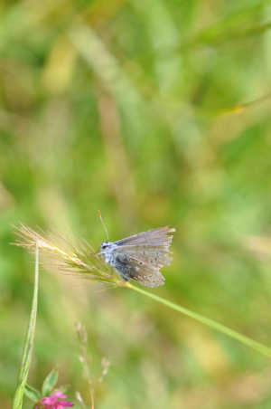 Scruffy blue butterfly