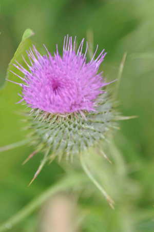 Spear Thistle?
