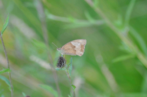 Grayling or Meadow Brown?