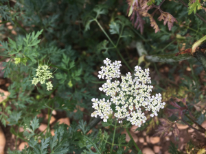 Apiaceae - Long bracteoles, quite short