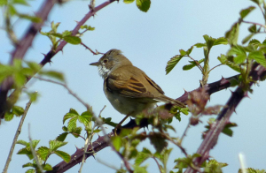 ?whitethroat