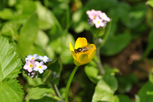 Unidentified hoverfly