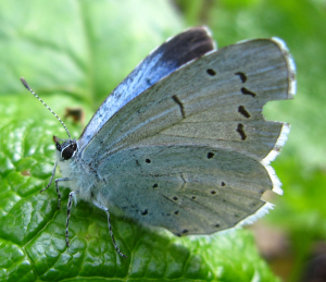 Battered Holly Blue
